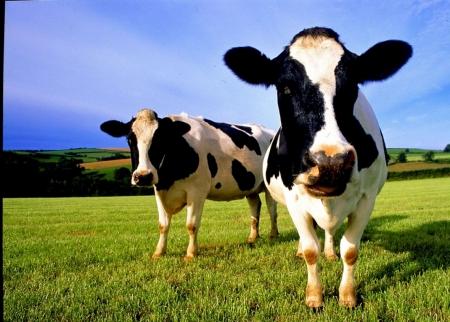 Постер (плакат) Коровы