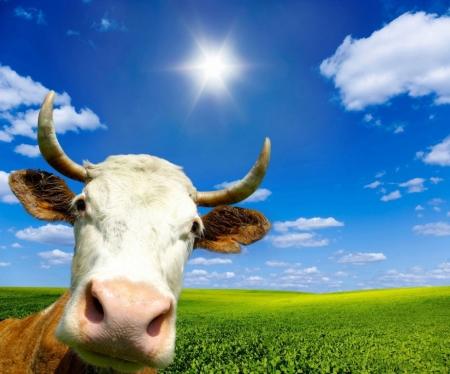 Постер (плакат) Корова