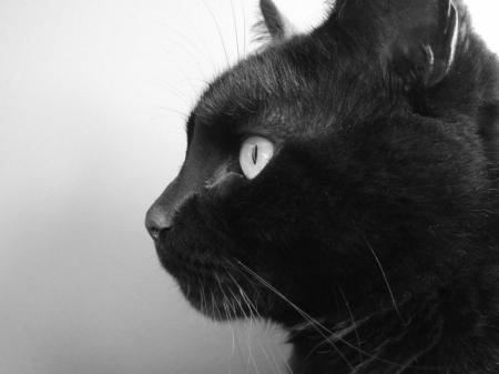Постер на подрамнике Черный кот