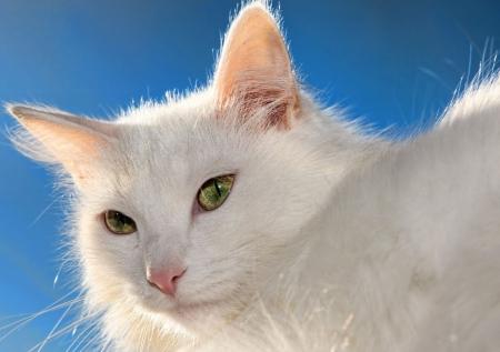 Постер на подрамнике Белый кот