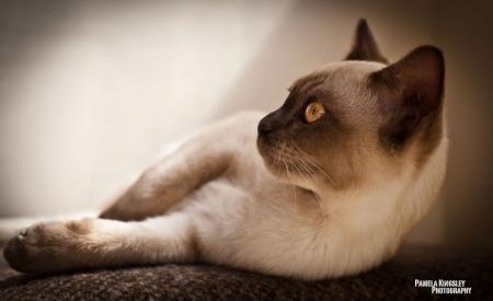 Постер (плакат) Сиамский кот