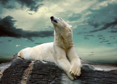 Постер на подрамнике Белый медведь