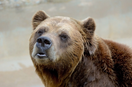 Постер на подрамнике Медведь