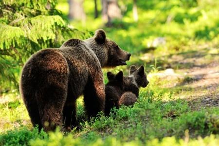 Постер на подрамнике Медведи. Мама и детеныши