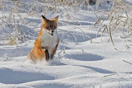 Постер на подрамнике Лисица на снегу