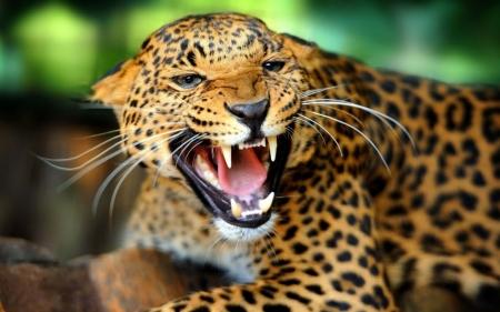 Постер на подрамнике Леопард