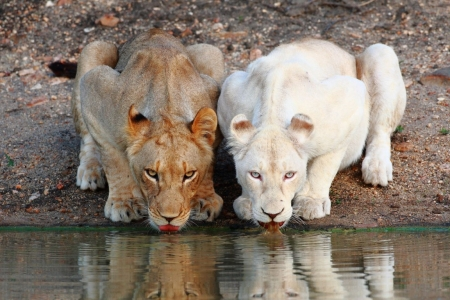 Постер на подрамнике Белый лев