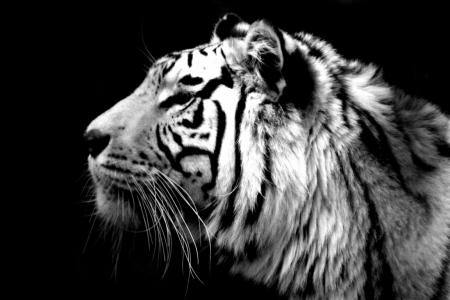 Постер (плакат) Белый тигр