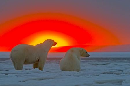 Постер на подрамнике Белые медведи