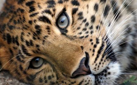 Постер (плакат) Леопард