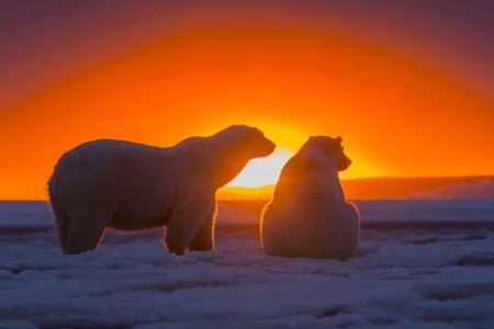 Постер (плакат) Белые медведи