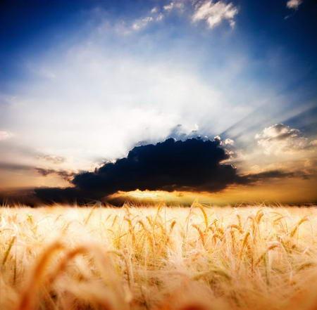 Постер на подрамнике Пшеничное поле и грозовое облако