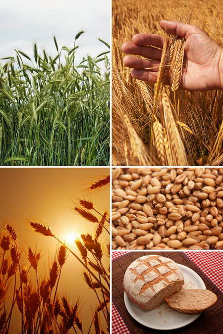Постер на подрамнике Коллаж Пшеница семена хлеб