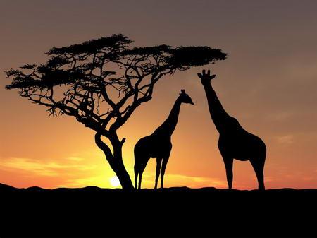 Постер на подрамнике Жирафы в закате дня