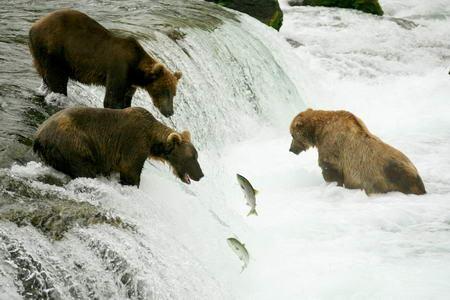 Постер на подрамнике Медведи в реке