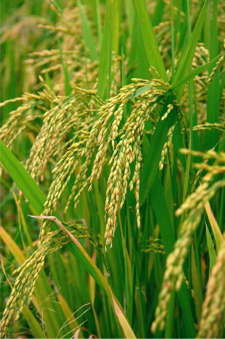 Плакат Веточка риса