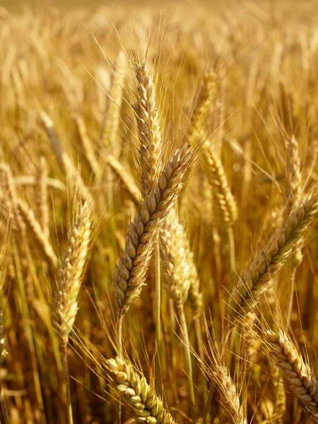 Плакат Красивая пшеница