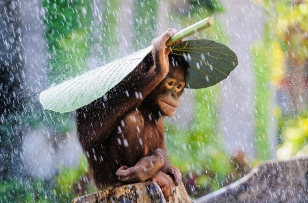 Постер (плакат) Обезьянка прячется от дождя