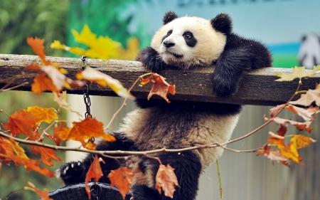 Постер на подрамнике Панда