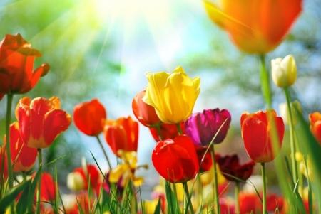 Плакат Тюльпаны