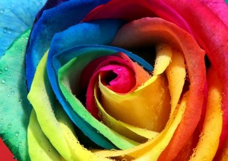 Постер на подрамнике Разноцветная роза