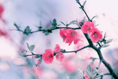 Плакат Цветы вишни
