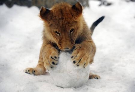 Постер (плакат) Львенок со снежком