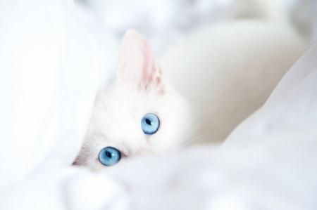 Постер (плакат) Голубоглазый котенок