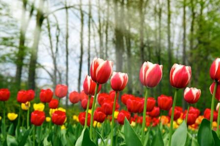 Постер (плакат) Тюльпаны